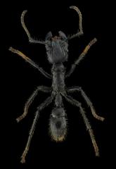 bullet ant [Paraponera clavata] Nicaragua-7