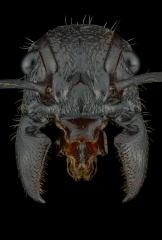 bullet ant [Paraponera clavata] Nicaragua