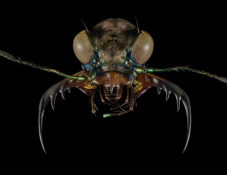 Pentacomia-punctum-female-Paraguay-2