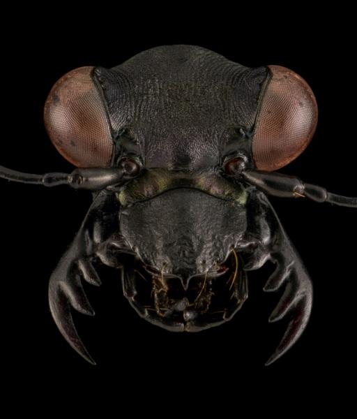 Peridexia-fulvipes-Madagascar-1
