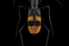 Peridexia-fulvipes-Madagascar-2