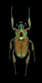 flower beetle [Phaedimus howdeni] female - Philippines-2