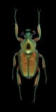 flower beetle [Phaedimus howdeni] female - Philippines-2