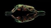 flower beetle [Phaedimus howdeni] female - Philippines