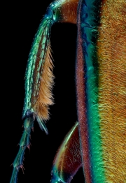 flower beetle [Phaedimus howdeni] male - Philippines