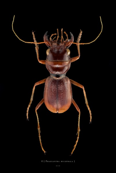 Phaexantha bucephala - Paraguay