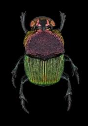 rainbow scarab beetle [Phanaeus vindex]-3