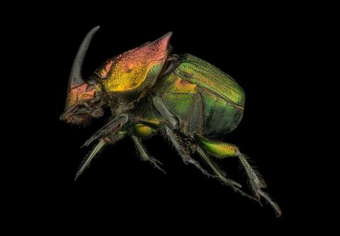 rainbow scarab beetle [Phanaeus vindex] - North America