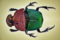 rainbow scarab beetle [Phanaeus vindex]-2