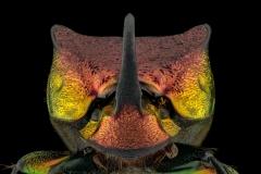 rainbow scarab beetle [Phanaeus vindex]-5