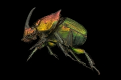 rainbow scarab beetle [Phanaeus vindex] - North America
