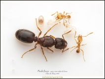 Pheidole-flaveria-queen-workers-brood-1-Zhou-Zheng-1999