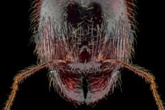 Pheidole-pallidula-Australia