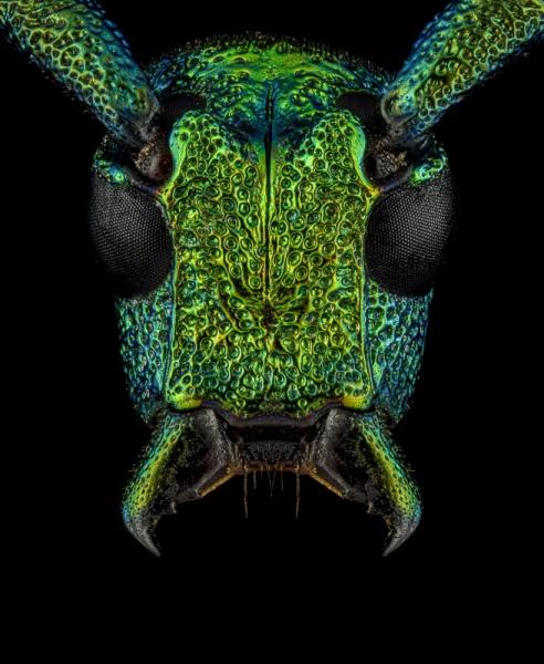 Phrosyne-brevicornis-viridis-Madagascar-2