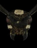Phymasterna-lacteoguttata-Madagascar-2