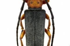 Phytoecia-affinis-Poland