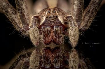 nursery web spider - [Pisaura mirabilis] - UK-2