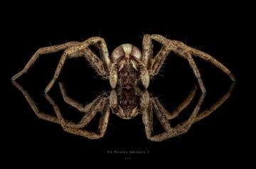 nursery web spider - [Pisaura mirabilis] - UK
