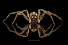 nursery web spider - [Pisaura mirabilis] - UK