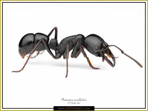 Plectroctena-mandibularis-1-white-F.Smith-185