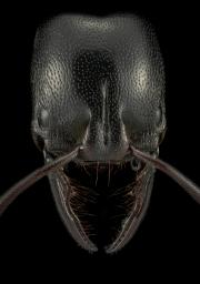 Ringbum millipede muncher - [Plectroctena mandibularis] - South Africa-2