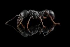 Ringbum millipede muncher - [Plectroctena mandibularis] - South Africa