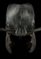 Plectroctena strigosa - kenya-2