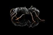 Plectroctena strigosa - kenya