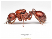 Pogonomyrmex-barbatus-queen-1-Smith-1858
