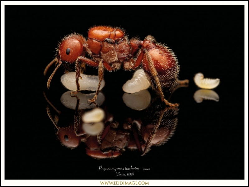 Pogonomyrmex-barbatus-queen-6-Smith-1858