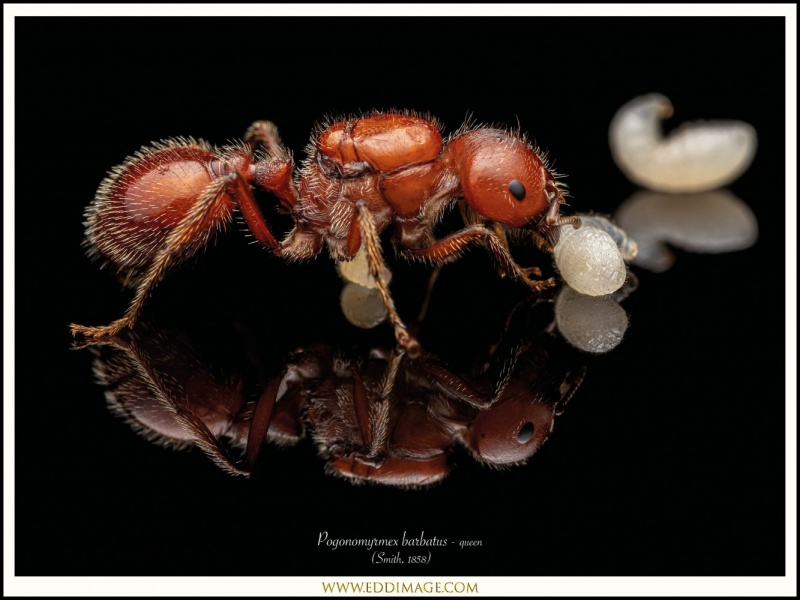 Pogonomyrmex-barbatus-queen-7-Smith-1858