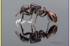Pogonomyrmex-rugosus-queen-2Emery-1895