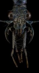Pogonostoma-sp.-Madagascar-3