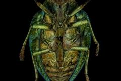 Polybothris-auriventris-Madagascar-2