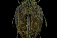 Polybothris-auriventris-Madagascar