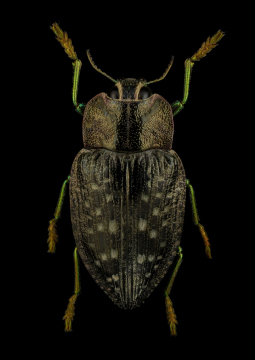 Polybothris-quadricollis-Madagascar-2