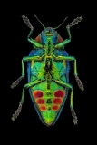jewelbeetle [Polybothris sumptuosa gemma]-2