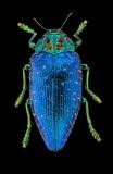 jewelbeetle [Polybothris sumptuosa gemma]