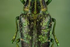 Polybothris-sumptuosa-Madagascar