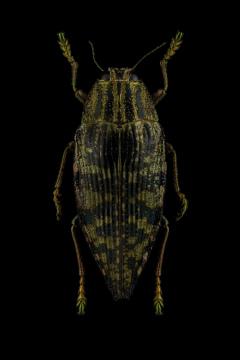 Polybothris-zivetta-Madagascar
