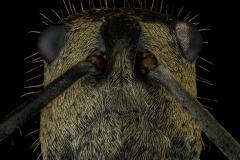 Polyrhachis-beccarii-1