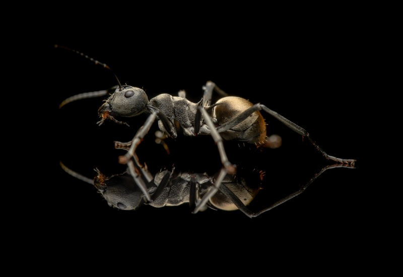 Polyrhachis-dives-Philipines-2