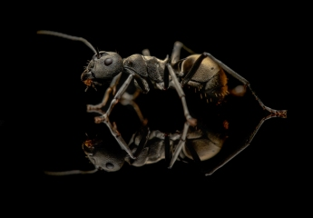 Polyrhachis-dives-Philipines-3