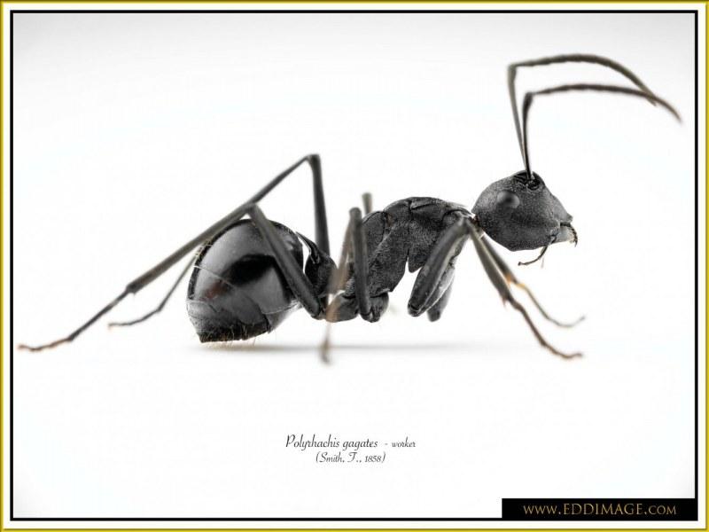 Polyrhachis-gagates-worker-1Smith-F.-1858