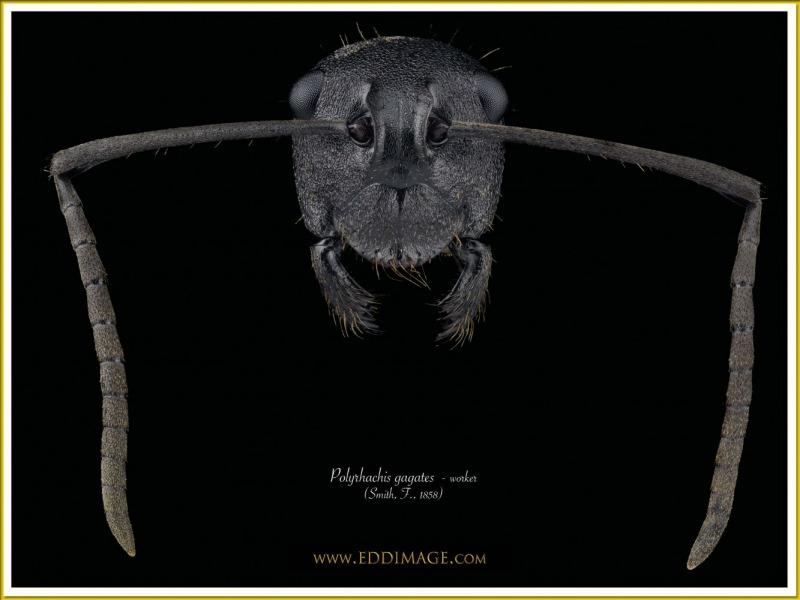 Polyrhachis-gagates-worker-3Smith-F.-1858