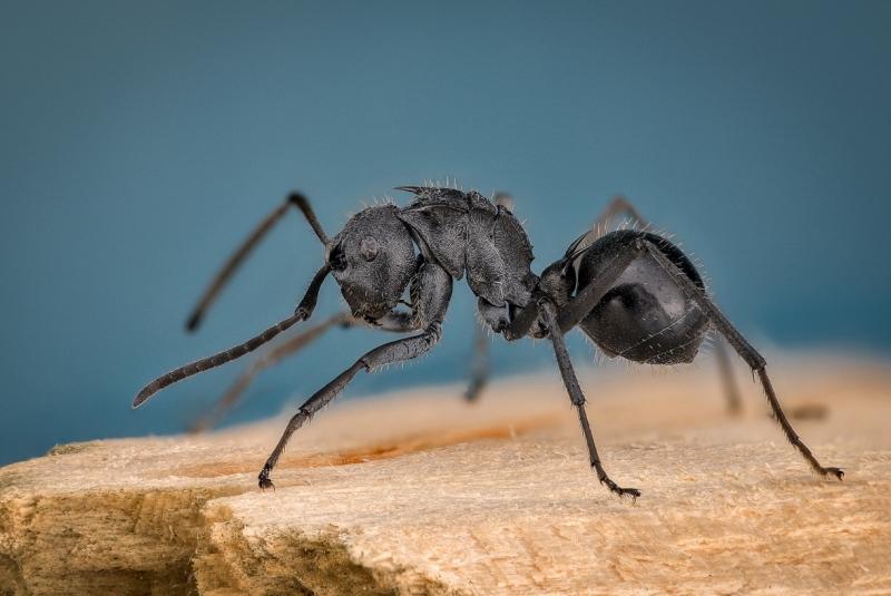 shiny spiny sugar ant [Polyrhachis gagates] Africa
