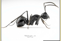 Polyrhachis-gagates-worker-1Smith-F.-1858