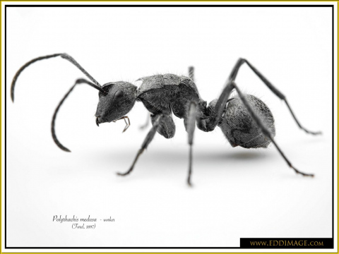 Polyrhachis-medusa-worker-6Forel-1897