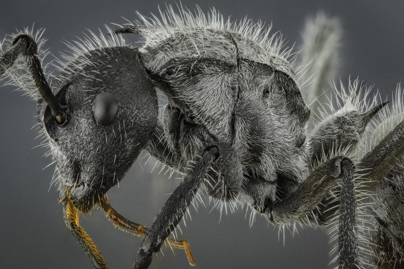 savana spiny sugar ant [Polyrhachis schistacea] - Southern Africa-2