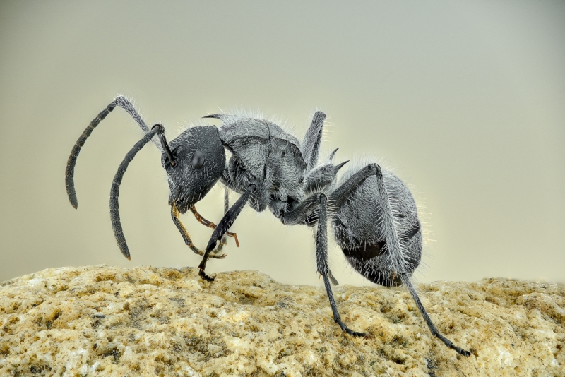 savana spiny sugar ant [Polyrhachis schistacea] - Southern Africa